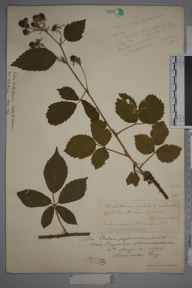 Rubus trelleckensis herbarium specimen from Bigsweir, VC35 Monmouthshire in 1895 by Rev. Augustin Ley.