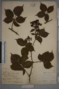 Rubus affinis herbarium specimen from Colwell Common, VC10 Isle of Wight in 1902 by Rev William Moyle Rogers.