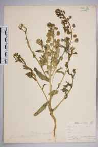 Thlaspi arvense herbarium specimen from Hayes Common, VC16 West Kent in 1900 by William Henry Griffin.