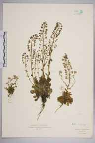 Thlaspi caerulescens herbarium specimen from Leyburn, VC65 North-west Yorkshire in 1931 by Dr William Arthur Sledge.