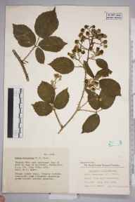 Rubus durescens herbarium specimen from Bradley Wood, VC57 Derbyshire in 1953 by Eric Smoothy Edees.