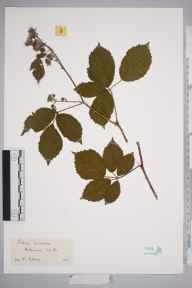 Rubus durescens herbarium specimen from Hillswood, VC39 Staffordshire in 1961 by Kathleen M Marks.