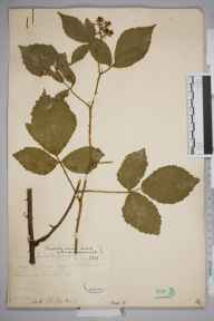 Rubus lindleianus herbarium specimen from Whitmoor Common, VC17 Surrey in 1885 by Mr William Hadden Beeby.