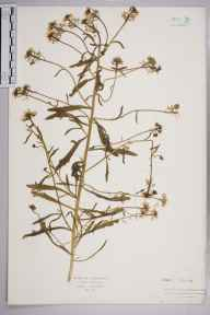 Iberis amara herbarium specimen from Norwood, VC17 Surrey in 1908 by Mr Isaac A Helsby.