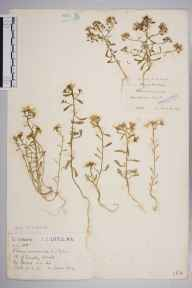 Iberis amara herbarium specimen from Tingley Wood, VC30 Bedfordshire in 1913 by Mr Joseph Edward Little.