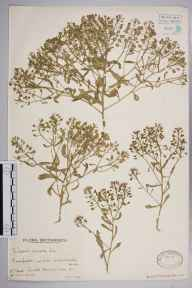 Iberis amara herbarium specimen from Old Winchester Hill, VC11 South Hampshire in 1941 by Mr Edward Charles Wallace.