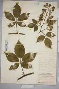 Rubus silvaticus herbarium specimen from Pirbright, VC17 Surrey in 1947 by Charles Avery.