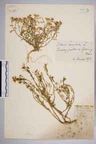 Iberis amara herbarium specimen from Goring, VC23 Oxfordshire in 1873.