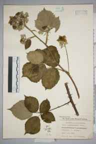 Rubus carnkiefensis herbarium specimen from Carnkief, VC1 West Cornwall in 1951 by William Charles Richard Watson.