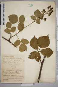 Rubus nemoralis herbarium specimen from Whitmoor Common, VC17 Surrey in 1885 by Mr William Hadden Beeby.
