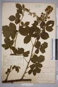 Rubus polyanthemus herbarium specimen from Aird, VCH39 Co. Antrim in 1896 by Mr Charles Bailey.