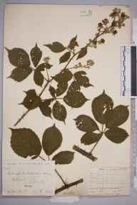 Rubus polyanthemus herbarium specimen from Hulland, VC57 Derbyshire in 1892 by Rev William Richardson Linton.