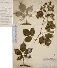 Rubus prolongatus herbarium specimen from Tunbridge Wells, VC16 West Kent in 1937 by Charles Avery.