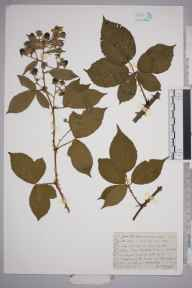 Rubus chloophyllus herbarium specimen from Uckfield,Budletts Common, VC14 East Sussex in 1948 by William Charles Richard Watson.