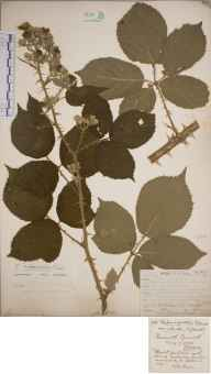 Rubus riddelsdellii herbarium specimen from Ponsanooth, VC1 West Cornwall in 1906 by Mr Frederick Hamilton Davey.