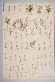 Hornungia petraea herbarium specimen from Clifton, VC34 West Gloucestershire in 1903 by Mr Harold Stuart Thompson.