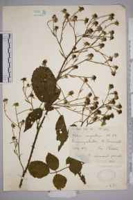 Rubus rubritinctus herbarium specimen from Perranzabuloe, VC1 West Cornwall in 1927 by Mr Francis Rilstone.