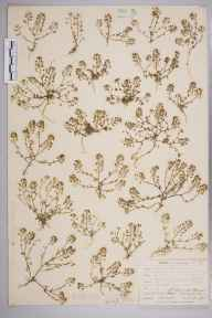 Hornungia petraea herbarium specimen from Great Orme's Head, VC49 Caernarvonshire in 1905 by Mr Allan Octavian Hume.
