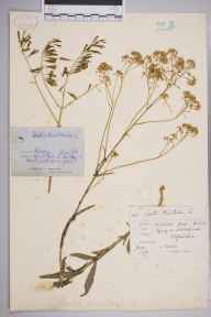 Isatis tinctoria herbarium specimen from Goring, VC23 Oxfordshire in 1878 by Mr Arthur Bennett.