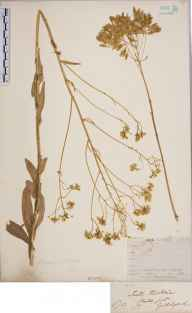 Isatis tinctoria herbarium specimen from Guildford, VC17 Surrey in 1851 by Mr Frederick Townsend.