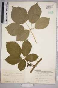 Rubus hylophilus herbarium specimen from Hayes, VC16 West Kent in 1928 by William Charles Richard Watson.