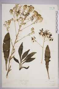 Isatis tinctoria herbarium specimen from Tewkesbury, VC33 East Gloucestershire in 1929 by Mr Isaac A Helsby.