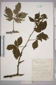 Rubus ulmifolius herbarium specimen from Pentraeth, VC52 Anglesey in 1884 by Mr Charles Bailey.