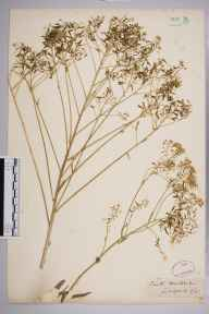 Isatis tinctoria herbarium specimen from Guildford, VC17 Surrey in 1852.