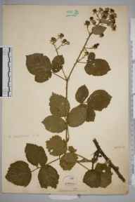 Rubus surrejanus herbarium specimen collected by William Robert Sherrin.