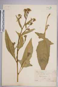 Bunias orientalis herbarium specimen from Effingham, VC17 Surrey in 1887 by Mr William Hadden Beeby.