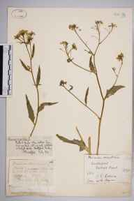 Bunias orientalis herbarium specimen from Hartlepool, VC66 County Durham in 1872 by Dr Frederick Arnold Lees.