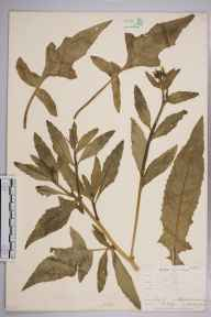 Bunias orientalis herbarium specimen from Keston Common, VC16 West Kent in 1903 by William Henry Griffin.