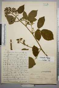 Rubus decussatus herbarium specimen from Tunbridge Wells, VC16 West Kent in 1872 by Edward Gillett Gilbert.