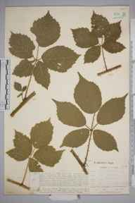 Rubus heterobelus herbarium specimen from Trilloescourt Wood,  Bolston, VC36 Herefordshire in 1901 by Rev. Augustin Ley.
