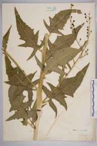 Bunias orientalis herbarium specimen from Epsom, VC17 Surrey in 1934 by Mr Isaac A Helsby.