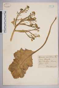 Crambe maritima herbarium specimen from Shoreham, VC13 West Sussex in 1873 by Mr Arthur Bennett.