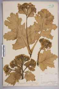 Crambe maritima herbarium specimen from Pengreep, VC1 West Cornwall in 1900 by Mr Frederick Hamilton Davey.