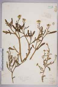 Crambe maritima herbarium specimen from Littlehampton, VC13 West Sussex in 1923 by Mr Isaac A Helsby.