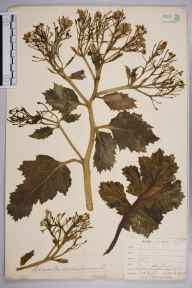 Crambe maritima herbarium specimen from Cemlyn Bay, VC52 Anglesey in 1905 by Mr Allan Octavian Hume.