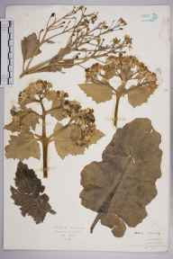 Crambe maritima herbarium specimen from Dover, VC15 East Kent in 1927 by Mr Isaac A Helsby.