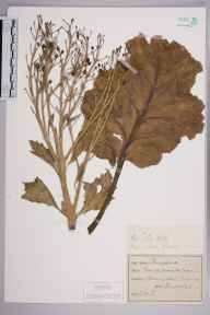 Crambe maritima herbarium specimen from Beachy Head, VC14 East Sussex in 1897 by Prof., Sir Jethro Justinian  Harris Teall (Dulwich College).