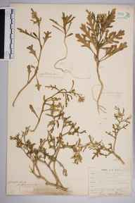 Cakile maritima herbarium specimen from Poldhu Cove, VC1 West Cornwall in 1899.