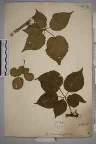 Rubus cavatifolius herbarium specimen collected by William Robert Sherrin.