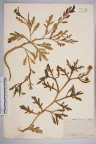 Cakile maritima herbarium specimen from Par, VC2 East Cornwall in 1910 by Mr Frederick Hamilton Davey.