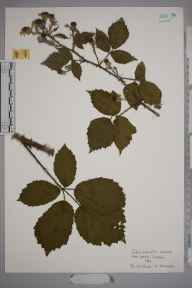 Rubus echinatus herbarium specimen from Ham Common, VC17 Surrey in 1963 by Kathleen M Marks.