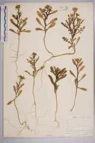 Cakile maritima herbarium specimen from Par, VC2 East Cornwall in 1901 by Mr Allan Octavian Hume.