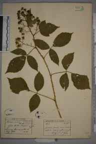 Rubus rudis herbarium specimen from Margery wood, VC17 Surrey in 1897 by Ernest Stanley Salmon.