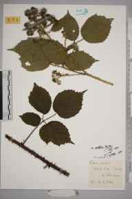Rubus atrebatum herbarium specimen from Black Park, VC24 Buckinghamshire in 1964 by K Marks.