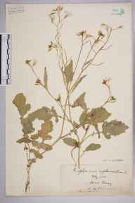 Raphanus raphanistrum herbarium specimen from Send, VC17 Surrey in 1902 by S A Chambers.