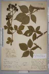 Rubus infestior herbarium specimen from Thursley, VC17 Surrey in 1891 by Rev. Edward Shearburn Marshall.
